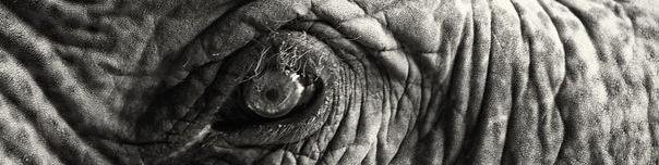 olifanten oog (klein)